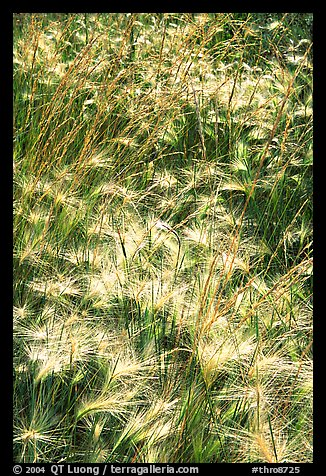 Barley grasses. Theodore Roosevelt National Park, North Dakota, USA.