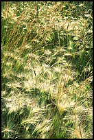 Barley grasses. Theodore Roosevelt National Park, North Dakota, USA. (color)