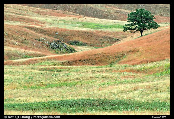 Grassy hills and tree. Wind Cave National Park, South Dakota, USA.