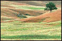 Grassy hills and tree. Wind Cave National Park ( color)