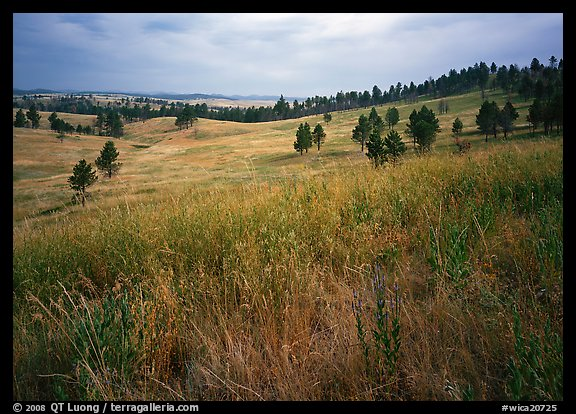 Grasses and rolling hills with pine trees. Wind Cave National Park (color)