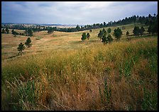Grasses and rolling hills with pine trees. Wind Cave National Park, South Dakota, USA. (color)