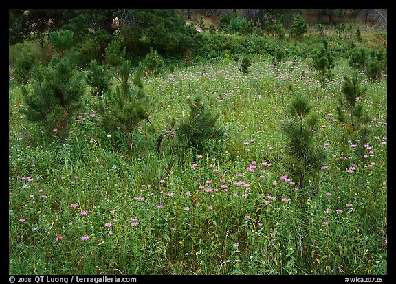 Purple Horsemint flowers and young ponderosa pines. Wind Cave National Park (color)