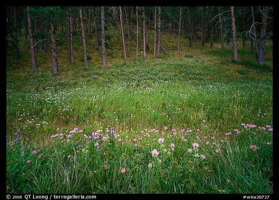 Flowers on meadow and hill covered with pine forest. Wind Cave National Park (color)