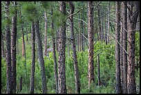 Pine forest. Wind Cave National Park, South Dakota, USA. (color)