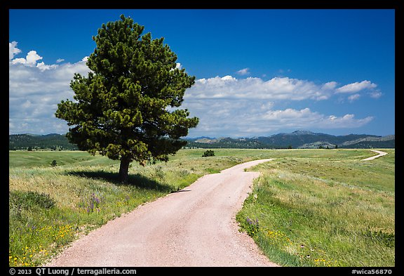 Gravel road and pine tree. Wind Cave National Park (color)