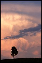 Lone tree and storm cloud, sunset. Wind Cave National Park, South Dakota, USA.