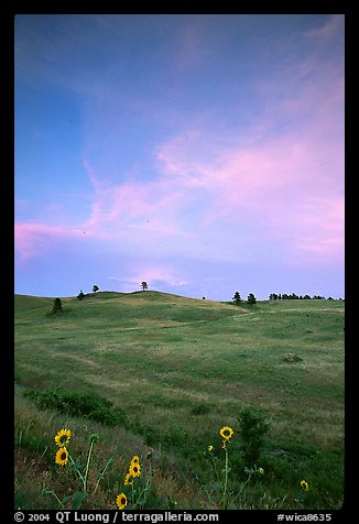 Sunflowers, hills, sunset. Wind Cave National Park, South Dakota, USA.