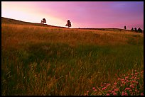 Tall grass and hills at Bison Flats, sunrise. Wind Cave National Park, South Dakota, USA.