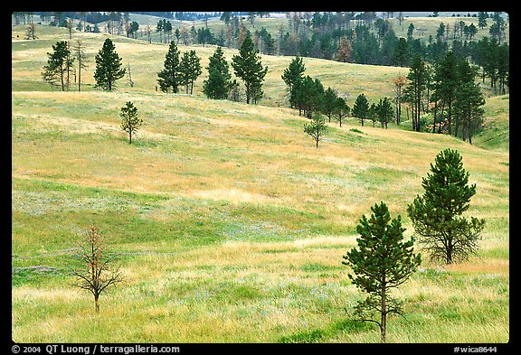 Ponderosa pines on rolling hills. Wind Cave National Park, South Dakota, USA.