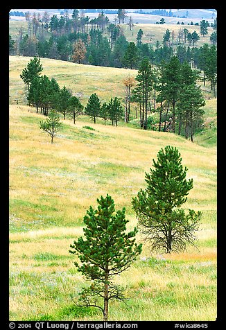 Rolling hills with ponderosa pines. Wind Cave National Park (color)