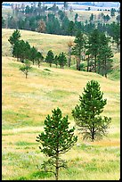 Rolling hills with ponderosa pines. Wind Cave National Park, South Dakota, USA.