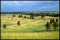 Ponderosa pines and rolling hills near Gobbler Pass. Wind Cave National Park ( color)