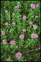Wild Bergamots (Monarda fistulosa, Lamiaceae). Wind Cave National Park, South Dakota, USA.
