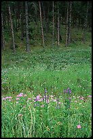Flowers on meadow and hill covered with pine forest. Wind Cave National Park, South Dakota, USA.