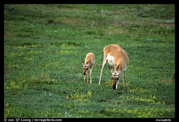 Pronghorn Antelope cow and calf. Wind Cave National Park (color)