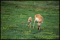 Pronghorn Antelope cow and calf. Wind Cave National Park, South Dakota, USA. (color)