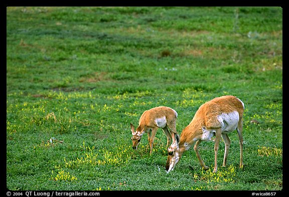 Pronghorn Antelope cow and calf in the prairie. Wind Cave National Park, South Dakota, USA.