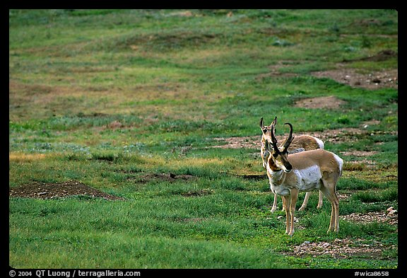 Pronghorn Antelope bull and cow. Wind Cave National Park, South Dakota, USA.