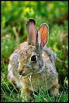 Cottontail rabbit. Wind Cave National Park, South Dakota, USA. (color)