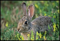 Cottontail rabbit. Wind Cave National Park, South Dakota, USA.