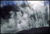 Trees shadowed in thermal steam, Upper geyser basin. Yellowstone National Park, Wyoming, USA. (color)