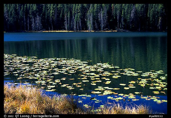 Lilies on a small lake. Yellowstone National Park, Wyoming, USA.