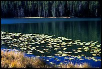 Lilies on a small lake. Yellowstone National Park ( color)