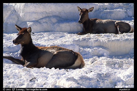 picture photo female elk on travertine terraces at