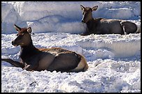 Female Elk on travertine terraces at Mammoth Hot Springs. Yellowstone National Park, Wyoming, USA. (color)