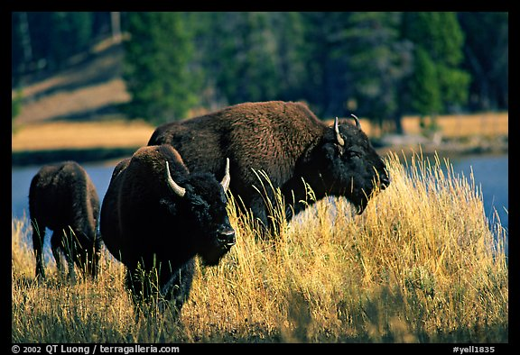 Group of buffaloes. Yellowstone National Park (color)