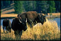 Group of buffaloes. Yellowstone National Park, Wyoming, USA. (color)