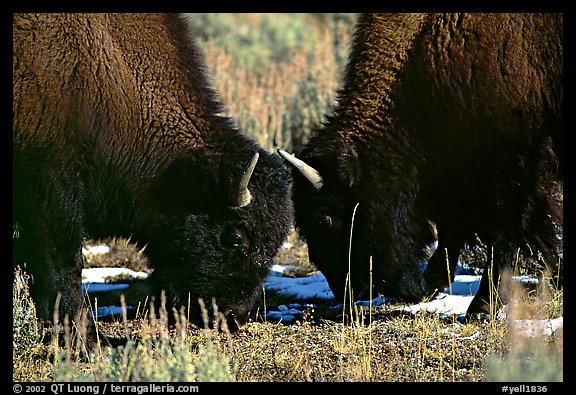Two buffaloes head to head. Yellowstone National Park (color)