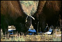 Two buffaloes head to head. Yellowstone National Park ( color)
