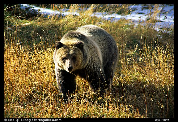 Grizzly bear. Yellowstone National Park (color)