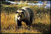 Grizzly bear. Yellowstone National Park, Wyoming, USA. (color)