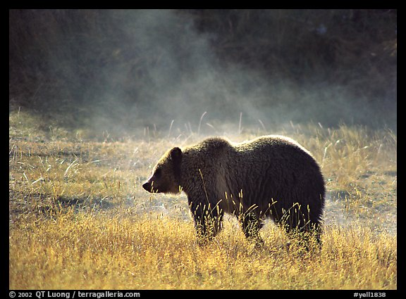 Grizzly bear and thermal steam. Yellowstone National Park (color)