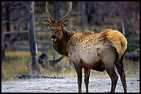 Elk. Yellowstone National Park, Wyoming, USA.