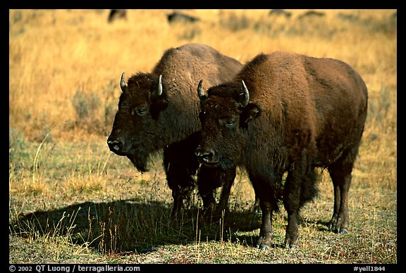Two bisons. Yellowstone National Park (color)