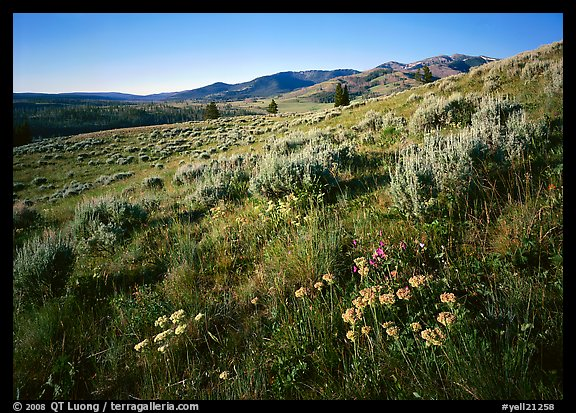 Flowers on slope below  Mt Washburn, sunrise. Yellowstone National Park, Wyoming, USA.