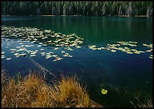 Water lilies and pond. Yellowstone National Park ( color)