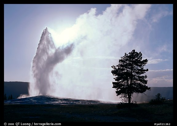 Old Faithful Geyser and tree backlit in afternoon. Yellowstone National Park (color)