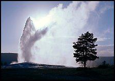Old Faithful Geyser and tree backlit in afternoon. Yellowstone National Park, Wyoming, USA.