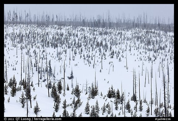 Lewis Canyon slopes with burned forest, winter. Yellowstone National Park, Wyoming, USA.