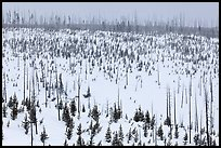 Lewis Canyon slopes with burned forest, winter. Yellowstone National Park ( color)