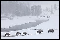 Bison moving in single file next to Firehole river, winter. Yellowstone National Park, Wyoming, USA.