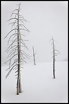 Tree skeletons in winter. Yellowstone National Park, Wyoming, USA.