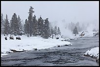 Firehole river and bison in winter. Yellowstone National Park, Wyoming, USA.