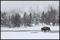 Bison following warm stream in winter. Yellowstone National Park, Wyoming, USA.