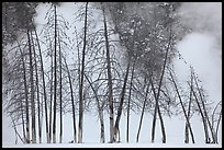 Bare trees and steam in winter. Yellowstone National Park, Wyoming, USA.